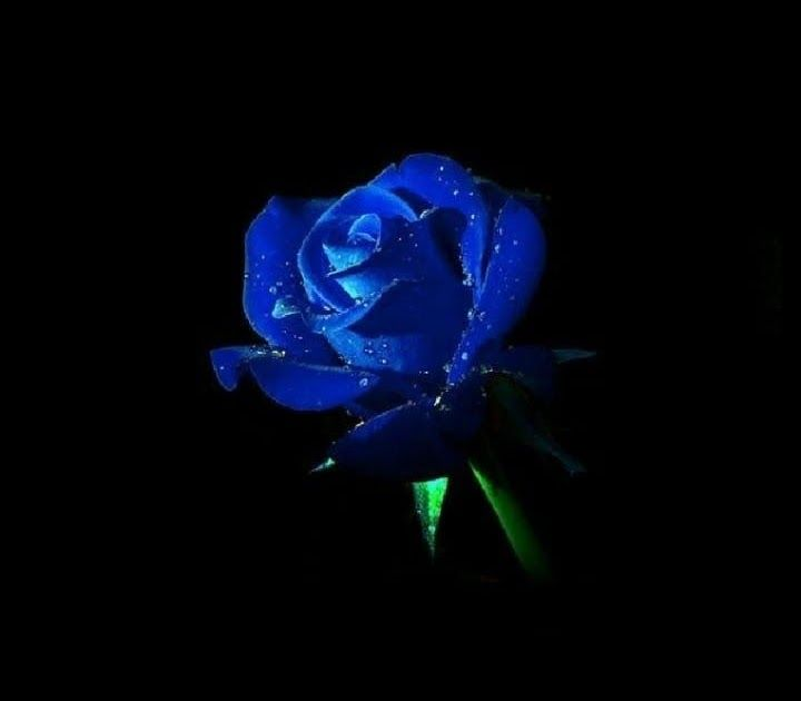 Pin By Ron Jackson On Blue Blue Roses Wallpaper Blue Dark Blue Wallpapers Top Free Dark Blue Roses Wallpaper Blue Background Wallpapers Android Wallpaper Blue Blue rose wallpaper hd