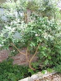 Pineapple guava, is a shrub that can grow in part shade, evergreen, drought and deer tolerant, can be used any where in the yard, and could be used as an hedge, to deter deer.
