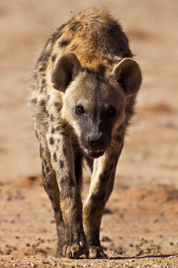 Hyena in Kgalagadi, Botswana