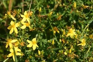 Třezalka byla od nepaměti považována za kouzelnou a léčivou bylinu. Křesťanské…