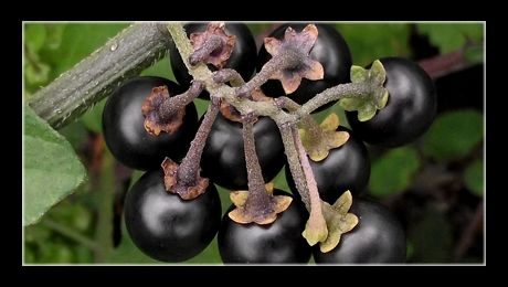Zârna (Solanum nigrum) este o plantă anuală din familia Solanaceae-lor, înrudită cu o serie de legume și fructe (precum cartoful, roșia și ardeiul). Zârna crește în zonele umede, pe orice fel de sol. În prezent este considerată buruiană și plantă otrăvitoare, deși...