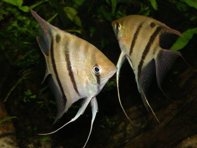 pterophyllum leopoldi | Pterophyllum leopoldi..The rarest angelfish!! - Practical Fishkeeping ...
