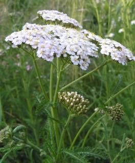 Achillea millefolium - Yarrow.  Native for Butterflies and Companion Planing. Blooms April - October. Full to Partial Sun.