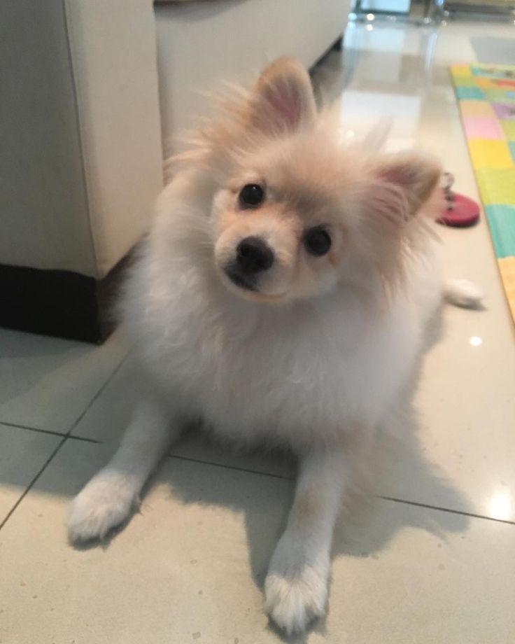 Dia de ajudar a Carol a educar ainda mais sua cadelinha #Julie #spitzalemaoanao #puppy parabéns por todo o cuidado com ela está indo muito bem! Obrigado @leiladonni pela indicação #perdigadogtrainer #dogtraining #adestramento #comportamentocanino #dogbehavior #dogs #dogsofig #dogcare #doglover #dogwhisperer #dogphotography #puppiesofig #drperdiga #veterinaria #veterinarian #vetlife #metodoperdigavet