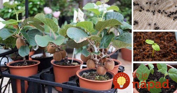 Kivi si môžete jednoducho vypestovať aj doma: Potrebujete len 1 kus ovocia, servítku a plastové vrecko!