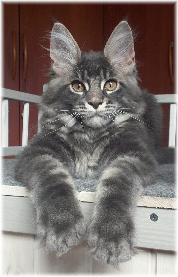 How To Tell If A Kitten Is A Maine Coon Kittys Cats Maine Coon