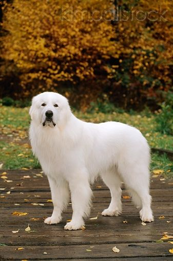 Beautiful Great Pyrenees