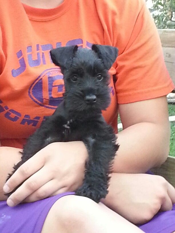 "Awwwwwwww this is how small my pupps was ""Cooper ♥ Miniature Schnauzer puppy"""