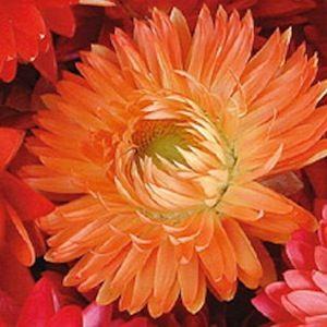 Xerochrysum bracteatum, Apricot/Peach Mix