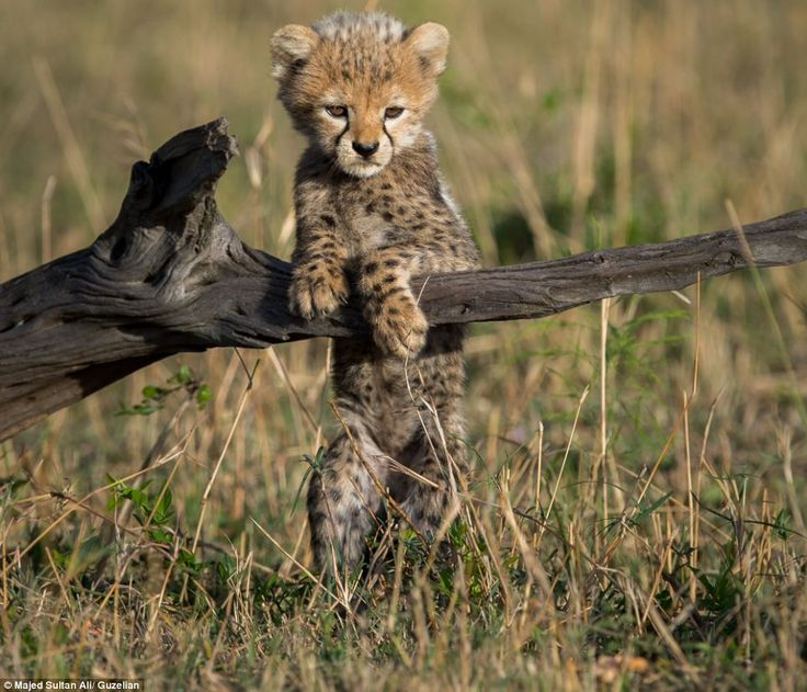 Sometimes a busy cheetah cub needs to take some time out of its schedule to lean against a...