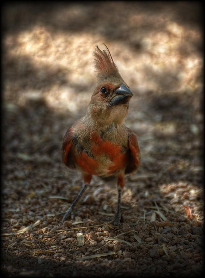 Now this is a face only a Mommy cardinal could love!  ✯ Baby Cardinal