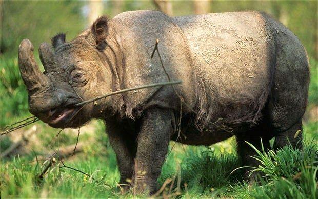 Borneo Wildlife: Sumatran Rhinoceros | TVOKM