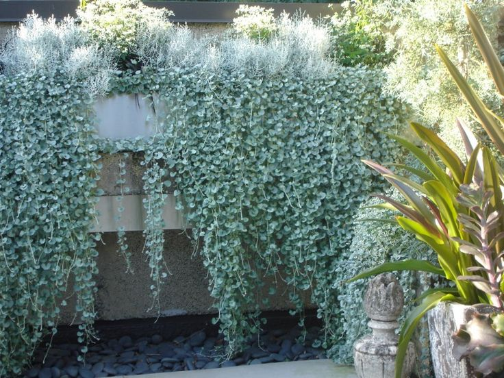 Dichondra 'Silver Falls'    I always assumed it would prefer full, hot sun….. most silver-leaved plants do. To my surprise, it is the plants in afternoon SHADE that grew the most lush, and hadthe longest trails of lovely silver foliage ! Dichondra does like sun, also. Growth is tighter and leaves are smaller in hot sun.  experiment with this as groundcover.