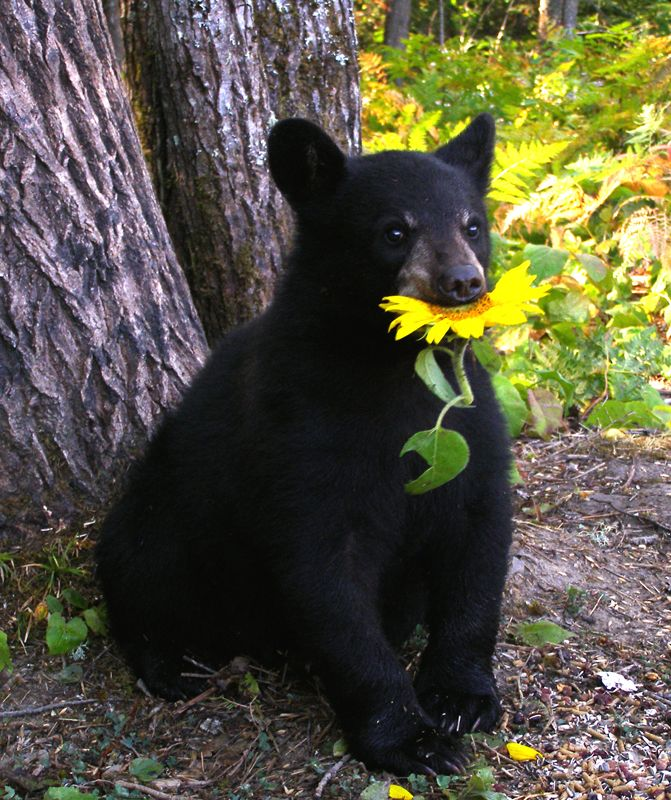 Adorable Lucky the Black Bear.    North American Bear Center...He picked a pretty sunflower!!!
