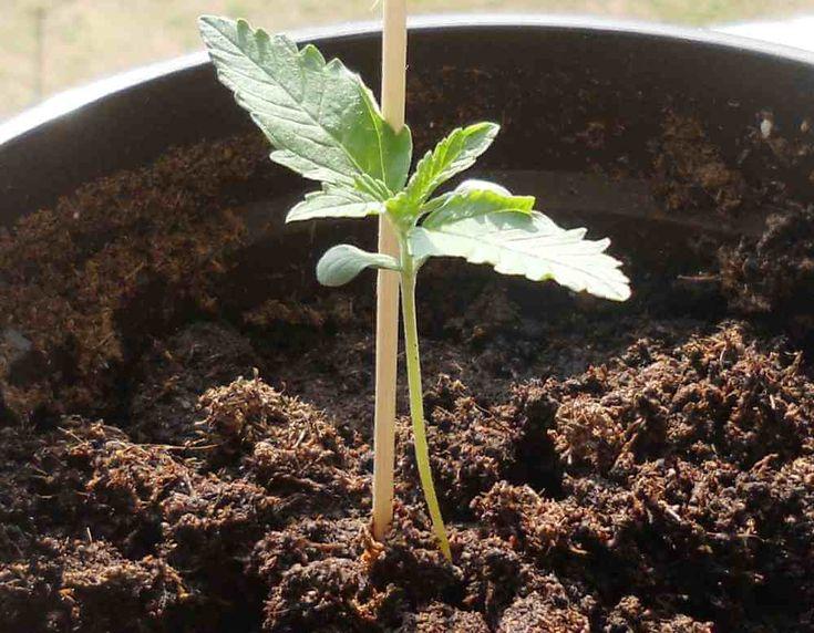 ¿Aún no has plantado? Te presentamos nuestra selección con las 10 mejores variedades de semillas de marihuana autoflorecientes para cultivar en agosto.