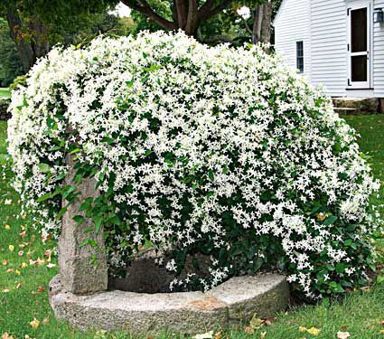 A gorgeous sight when covered in pure white, lightly fragrant flowers in late summer, Sweet Autumn Clematis becomes a silvery mass of fluffy seed heads in the fall.