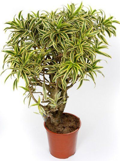 Dracaena Song Of India Loutos Amp Yasmeen Flowers