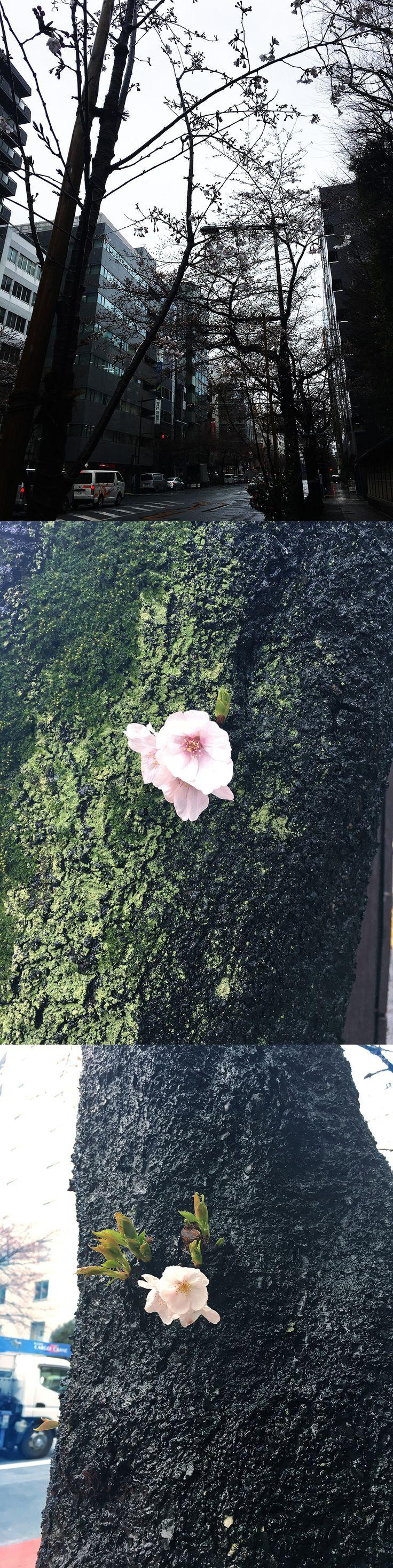 【編集者M】今日の東京は雨が降っています。そんな中、編集長が雨ニモマケズの精神で桜の写真を撮ってきてくださいましたとても寒い中、桜の花たちが必死になって咲こうと頑張っています今年は満開の時期が遅くなりそうですが、頑張る姿を見守ってあげてください