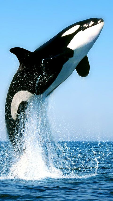 Orcinus orca                                                                                                                                                                                 More