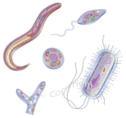 It is estimated that about 50% of Americans have an abundance of parasitic organisms in their gut.