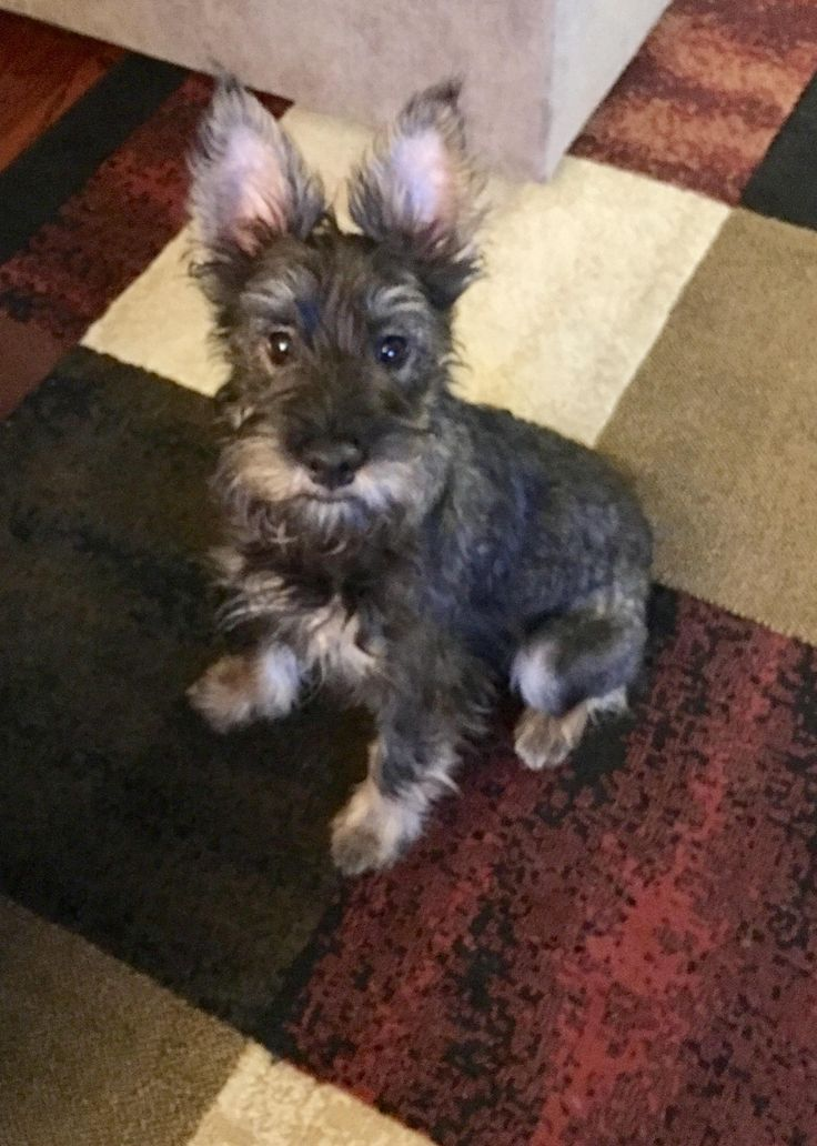 Eli is an adoptable Miniature Schnauzer searching for a forever family near Homer Glen, IL. Use Petfinder to find adoptable pets in your area.