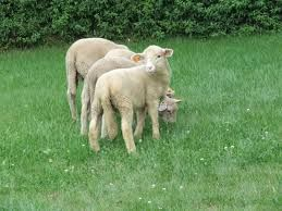 zadbaj wspolnie z Nami o srodowisko! http://puszystaowca.pl/ekologiczny-wypas-owiec/