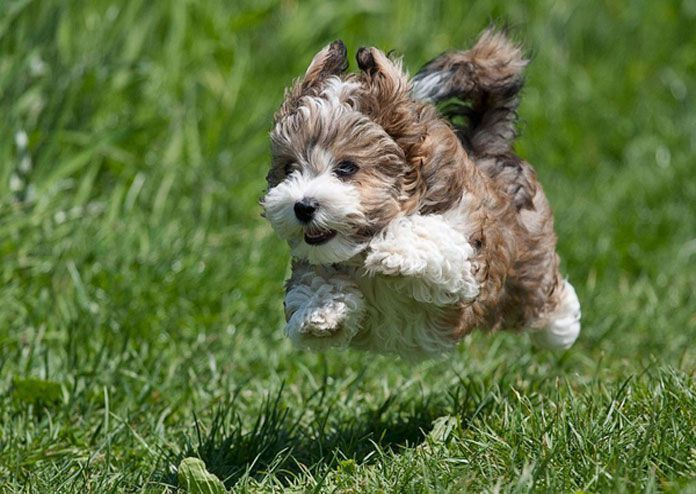If you are looking for a companion to grow in your apartment take a look at these cute, small dogs that stay small forever. They weigh less than 13 pounds.