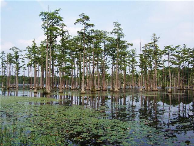 Cypress filled mill pond at Goodale State Park.  Camden, South Carolina.  kayaking, nature trail, canoe, shoreline fishing, picnicking