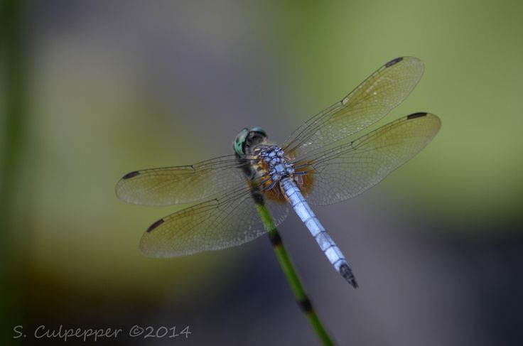 dragonfly in the pond