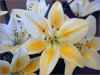 University of Saskatchewan (centennial) Asiatic Lily-hybridized by Donna Hay