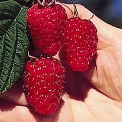 Mammoth Red Raspberry