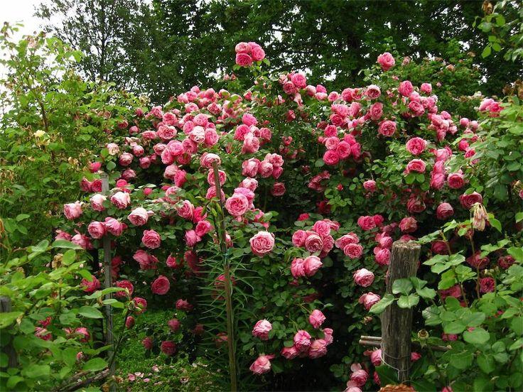 50 best rozynas images on pinterest climbing roses for Rose da giardino