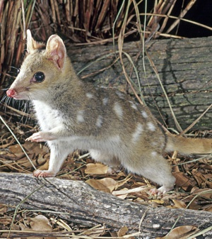 Quolls (genus Dasyurus) are solitary, nocturnal mammals which seek shelter in their burrows and dens by day and hunt birds, amphibians, reptiles, and small mammals at night.