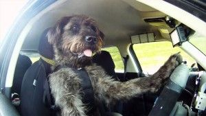 Meet Monty, world's second dog to learn to drive a car. Amazing dog training story and video. #dogtraining