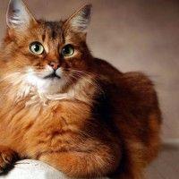 Razze Feline: Il gatto Somalo