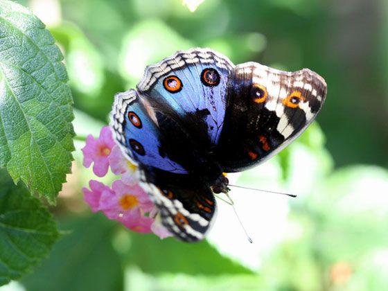 こちらの和名はアオタテハモドキ。「青い色の、タテハチョウによく似た蝶」の意。歴としたタテハチョウの仲間なのに、なぜか「もどき」と呼ばれているのはちょっとかわいそうな気がします。 英名は、The Blue Pansy。ストレートな花見立てが素敵ですね。