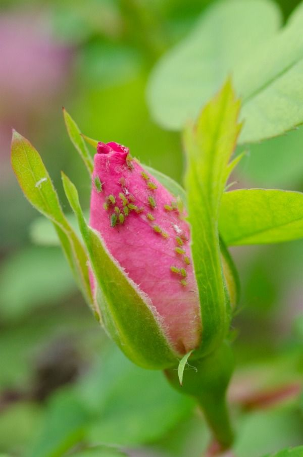 17 best ideas about aphid spray on pinterest organic pesticides organic gardening tips and. Black Bedroom Furniture Sets. Home Design Ideas