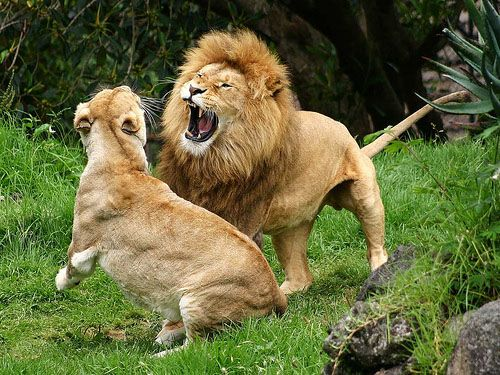 Lion Facts For Kids | What Do Lions Eat | Where Do Lions Live