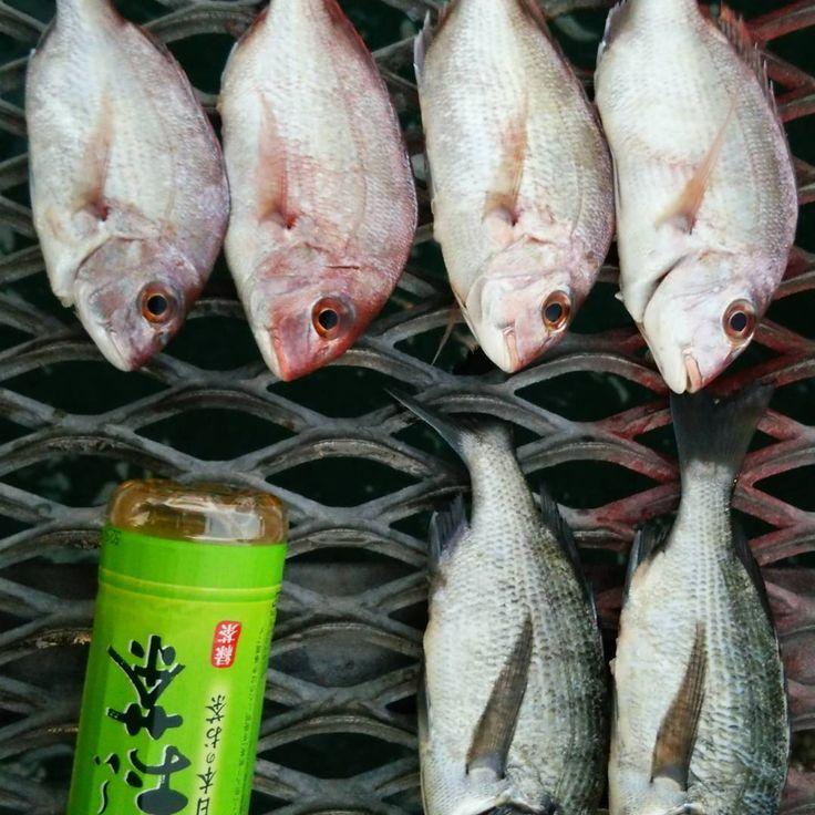 大阪南部での釣果! #釣果 #春 #鯛 #チヌ #海釣り #魚 #シラサエビ #レジャー  #釣り #ウキ釣り #シマノ http://www.butimag.com/シマノ/post/1483351386744790750_4930758459/?code=BSV7DokAZ7e