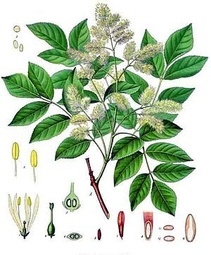 """Ashes (fraxinus): Fraxinus /ˈfræksᵻnəs/, English name ash, is a genus of flowering plants in the olive and lilac family, Oleaceae. It contains 45–65 species of usually medium to large trees, mostly deciduous though a few subtropical species are evergreen. The genus is widespread across much of Europe, Asia and North America.  The tree's common English name, """"ash"""", traces back to the Old English æsc, while the generic name originated in Latin. Both words also mean """"spear"""" in their respective…"""
