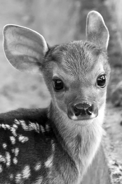 Voici Céleste mon petit animal de compagnie .C'est une biche des bois qu'on trouve rarement dans la foret , il en existe q'une centaine dans la foret amazonienne . weheartit.com