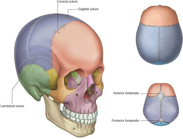 Sinartrosis es un tipo de articulación que permite muy poco o ningún movimiento en condiciones normales del sistema esquelético, incluyendo articulaciones fibrosas, articulaciones cartilaginosas y uniones óseas. Los extremos óseos que forman la articulación están conectados por tejido fibroso. En las suturas craneales los bordes irregulares de los huesos se entrelazan y se unen estrechamente …