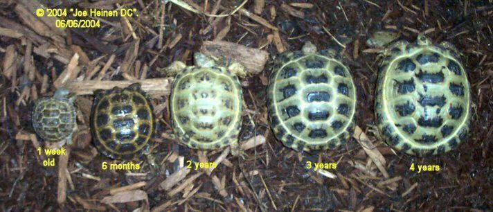 Russian tortoise hatchling size comparison