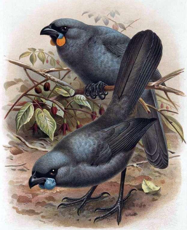 South Island Kokako, Extinct