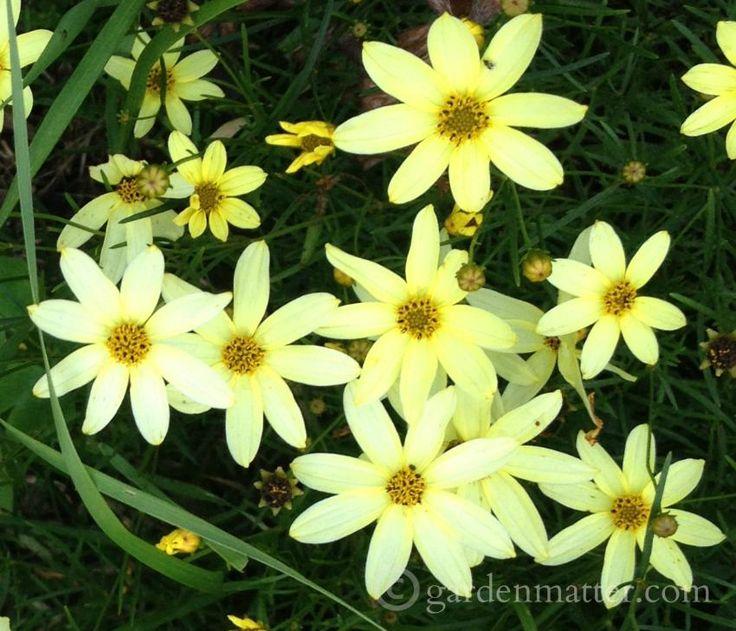 Coreopsis 'Moonbeam' - long blooming plants