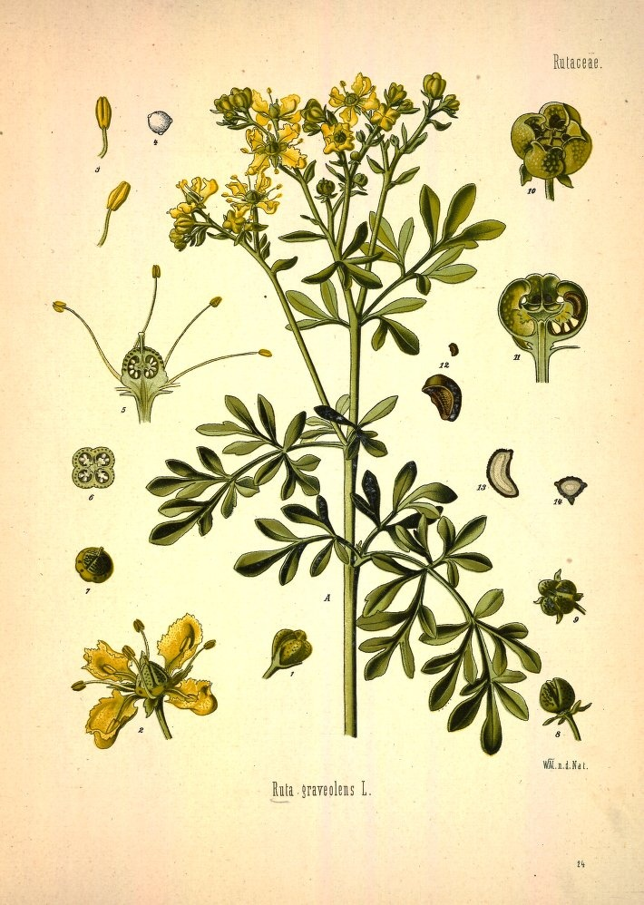Ruta graveolens (common rue or Herb-of-Grace)