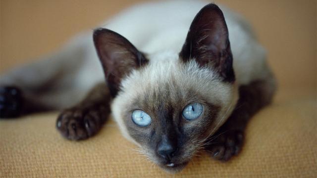 10 Jenis Kucing Terpopuler Untuk Dipelihara 2020 Cocok Jadi Teman Main Di Rumah Di 2020 Kucing Kucing Cantik Russian Blue