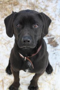 Black Lab Mix With Beagle