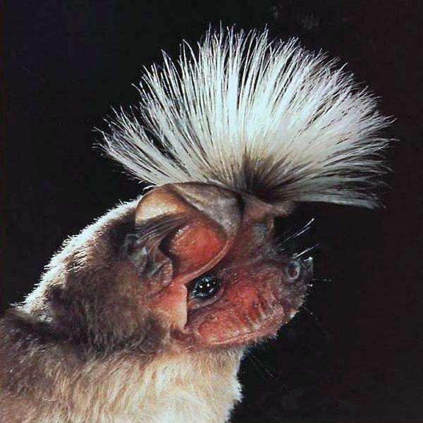 Chapin's free-tailed bat - Bats_Rule!