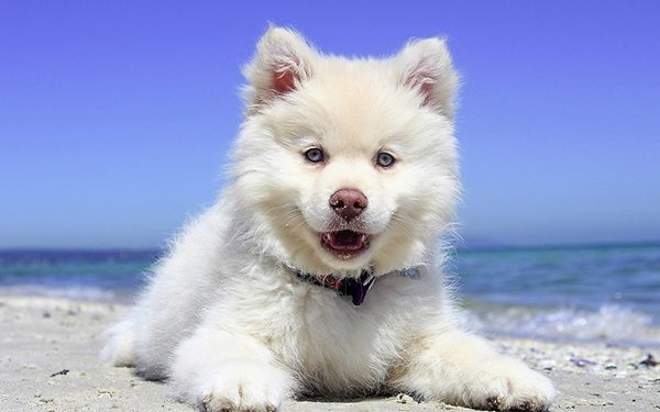 How To Choose Boy Dog Names Dog Name Male Puppy Dog Friends White Husky Puppy Cute Animals